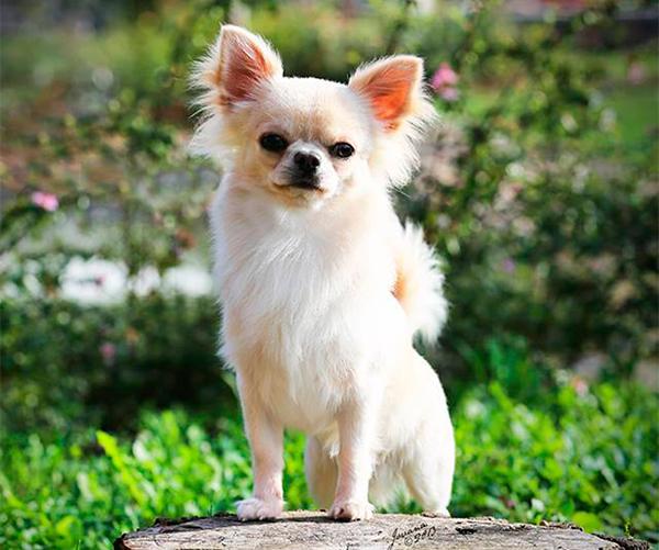 Microchihuahuas • Chihuahuas